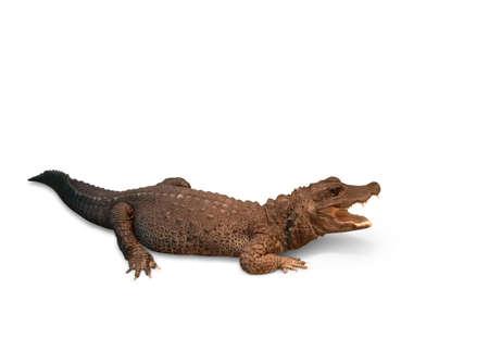Crocodile on a white background. Osteolaemus tetraspis     Stock Photo
