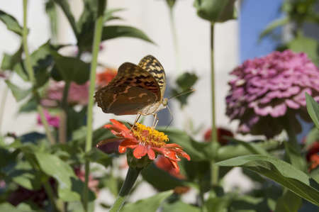 etymology: The butterfly pollinating a flower. A close up.