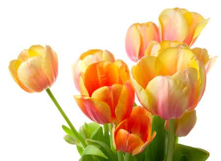 Bunte Tulpen auf weißem Grund. Close-up Standard-Bild