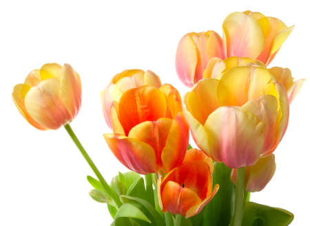Colourful tulips on a white background. Close-up