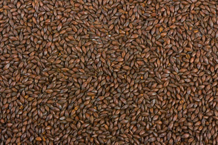 Chocolate malt barley, an ingredient for beer.