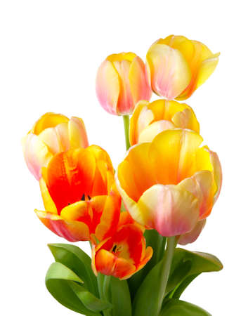 Colourful tulips on a white background  Close-up