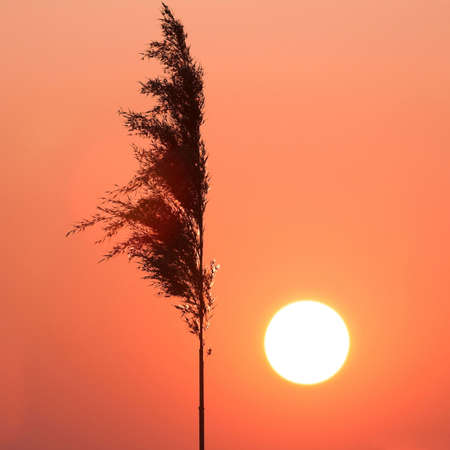 reed: reed and sun