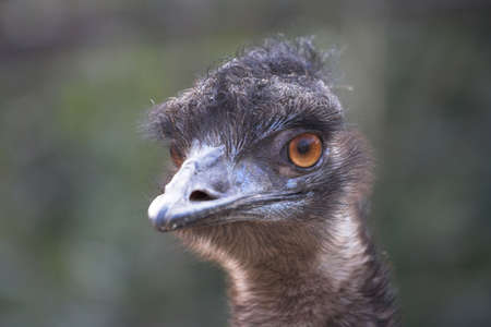 dromaius novaehollandiae: Emu