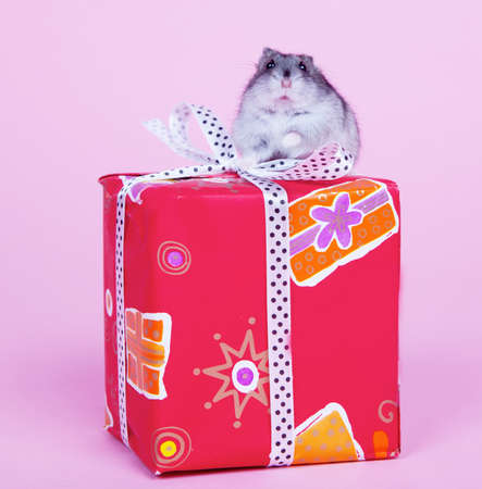 Hamster sitting on the present box isolated on pink background Stock Photo - 12726195