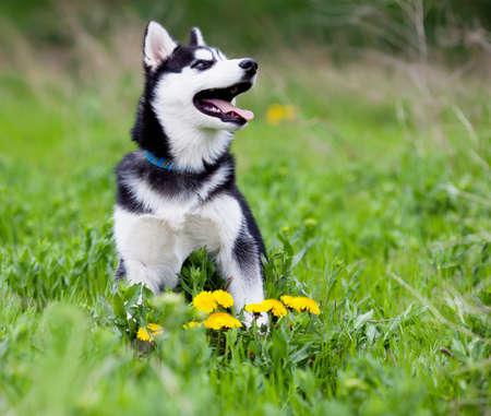 Siberische husky puppy op het gras Stockfoto