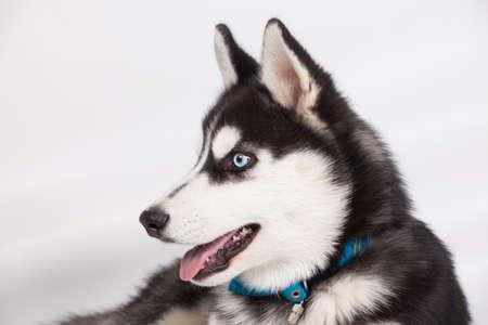 husky: Husky puppy dog in studio