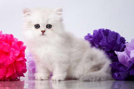 British shorthair kitten portrait. isolated on white Standard-Bild