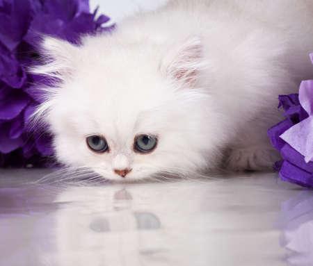 British shorthair kitten portrait. isolated on white photo
