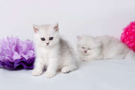 British shorthair kittens portrait. isolated on white photo