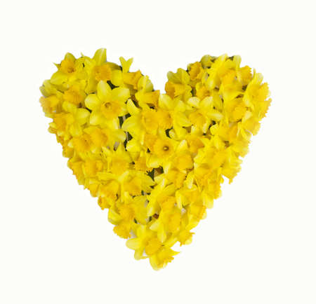A heart of daffodils isolated on white background Stockfoto
