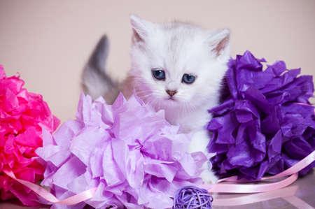 Little kitten portrait in studio photo
