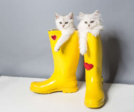 pussy yellow: Pussy of british cat in yellow gumboots
