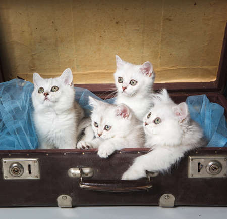 british pussy: Four pussy of british cat in old suitcase