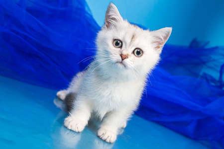 british pussy: Pussy of british cat in studio Stock Photo