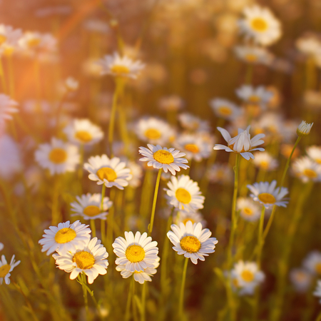 Chamomile flowers on the meadow Banco de Imagens