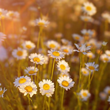 Chamomile flowers on the meadow Standard-Bild