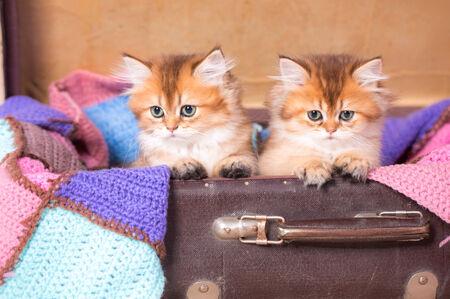 British shorthair cat studio photo Banco de Imagens