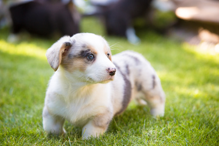 Monthly puppy of a corgi sit aon a lawn. Breeding purebred dogs Banco de Imagens