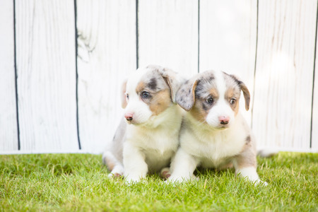 Monthly puppies of a corgi sit and lie on a lawn against a background of a white wooden fence Banco de Imagens