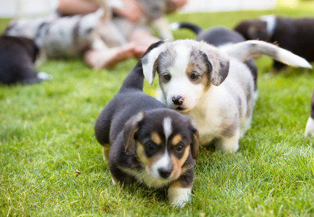 Monthly puppies of a corgi sit and lie on a lawn. Breeding purebred dogs