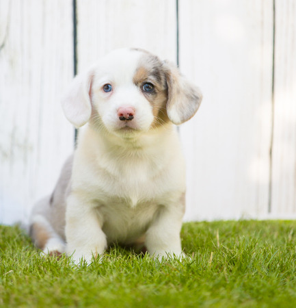 Monthly puppy of a corgi sit and lie on a lawn against a background of a white wooden fence