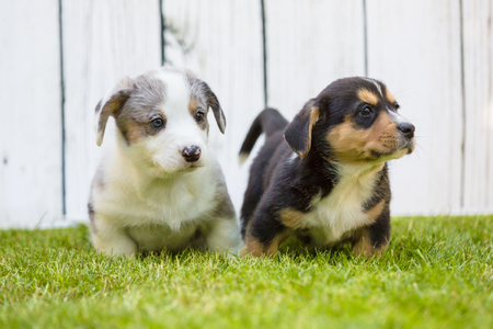 Monthly puppies of a corgi sit and lie on a lawn against a background of a white wooden fence Stockfoto