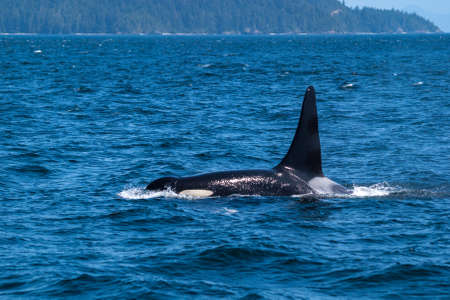 transient: Swimming killer whale in Broughton Archipelago Marine Provincial Park