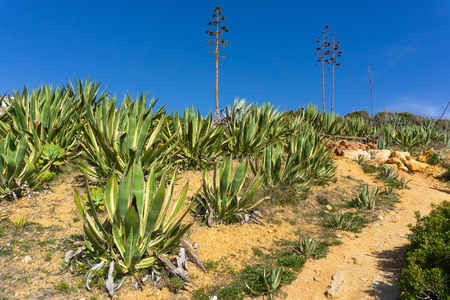 Agave americana along walkway in southern Portugal near Ponta da Piedade