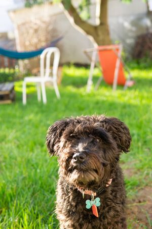 Dog sitting out in backyard garden schnauzer poodle mix schnoodle puppy