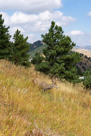 Eight point buck wild deer on hillside