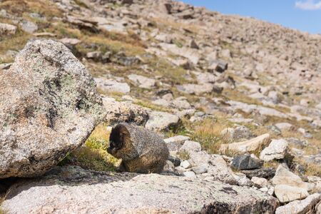 Marmot in alpine boulder field eating Banco de Imagens