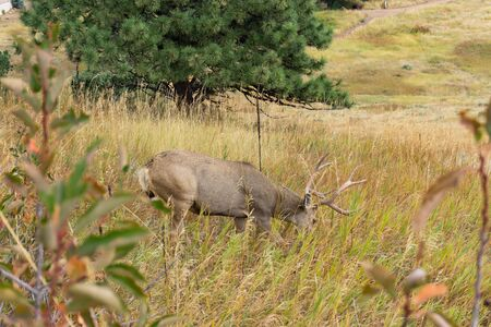 Large buck eating grass on hillside