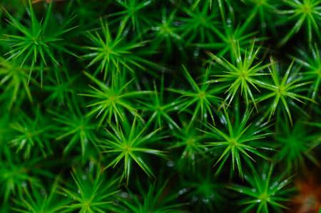 venn: Close-up of Polytrichum commune moss in Hohes venn peatlands, Belgium