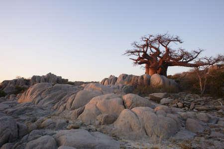 adansonia: Baobab in Lekhubu island, Makgadikgadi pans