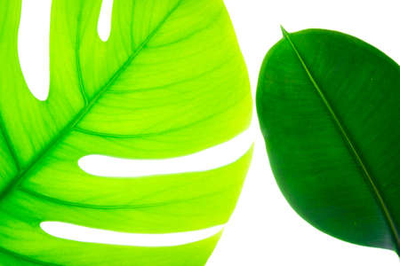 Top view of natural green tropical exotic plants leaves in backlight isolated on white background.