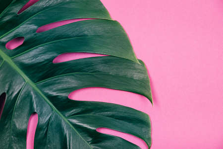 Tropical exotic plant single green monstera leaf on pink pastel background. Trendy summer and tropical concept. Place for text.
