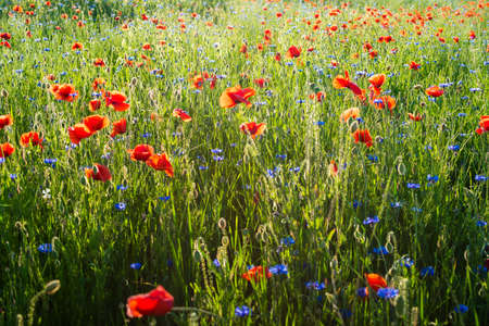 Beautiful field of wild red poppies (Papaver rhoeas) in the sunset. Floral background. Summer concept.