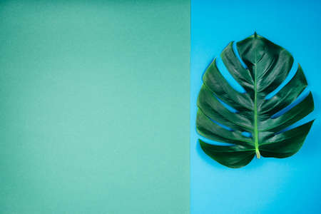 Creative tropical exotic plant single green monstera leaf on emerald blue-green background. Trendy summer and tropical concept. Place for text. Stock Photo