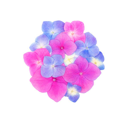 Top view of circle shape made of beautiful hydrangeas hortensia flowers isolated on white background. Flat lay. Celebration concept.
