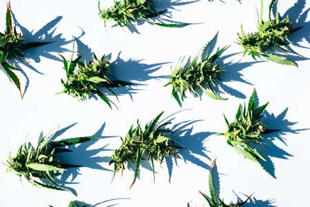Pattern of fresh green weed marijuana cannabis buds or flowers on white background. Flat lay.