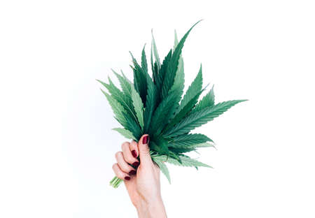 Bouquet of marijuana cannabis leaves in woman hand isolated on white background. Alternative treatment. Hemp leaf. Copy space.