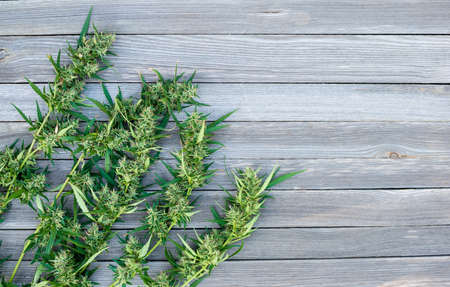 Fresh marijuana weed branches with flowers or buds on wooden background. Alternative treatment. Medical cannabis. Copy space. Banco de Imagens