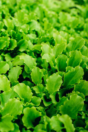 Fresh young green lettuce salad sprouts growing. Green natural vertical background. Healthy food.