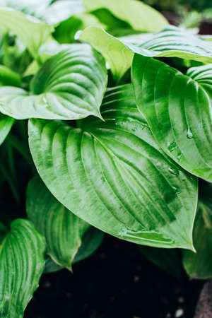 Fresh greenhosta leaves foliage with dew or rain water drops. Natural greenery background. Stock fotó