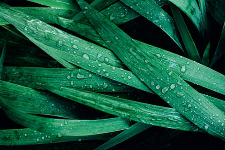 Top view of fresh green leaves foliage with dew or rain water drops. Natural greenery background.