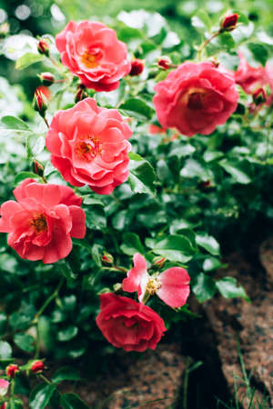 Beautiful blooming coral color rose bush growing outdoor in the garden. Natural floral background. Stock fotó