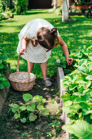 Cute little toddler girl picking fresh strawberries in garden on sunny summer day. Happy childhood. Genuine lifestyle moments. Stock fotó