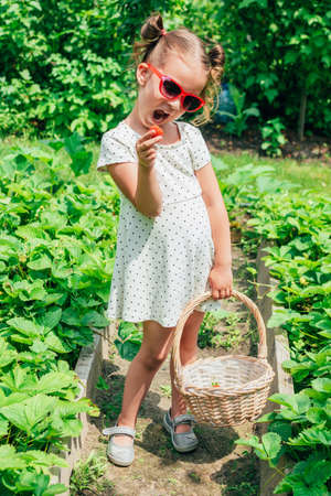 Cute little toddler girl holding basket and picking fresh strawberries in garden on sunny summer day. Happy childhood. Genuine lifestyle moments.