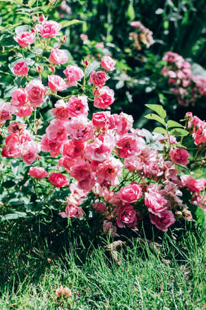 Beautiful blooming pink coral rose bush growing outdoor in the garden. Natural floral background.